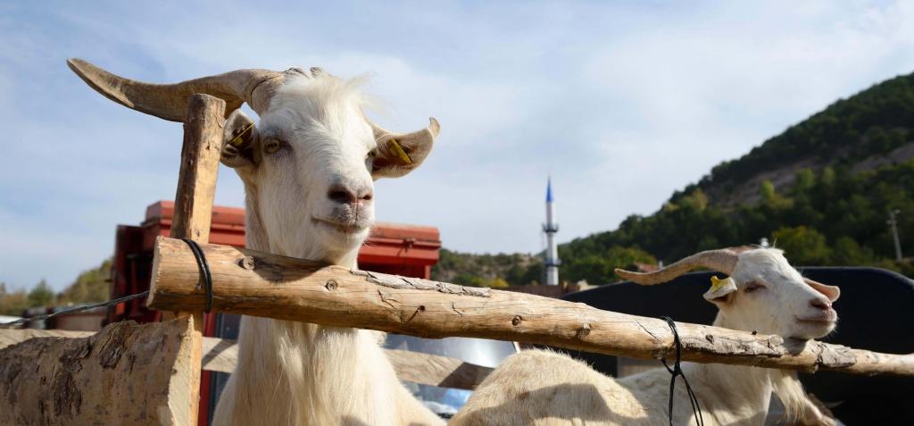 Sacrificial Goats