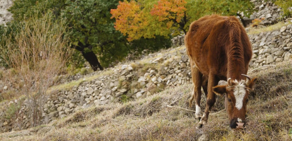 Brown Cow Eating Grass in Autumn, Pakistan