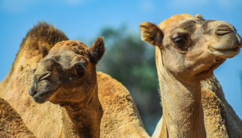 PETA India and Local Activists Rescue Seven Camels from Sacrifice
